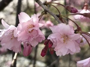 小諸市内の桜